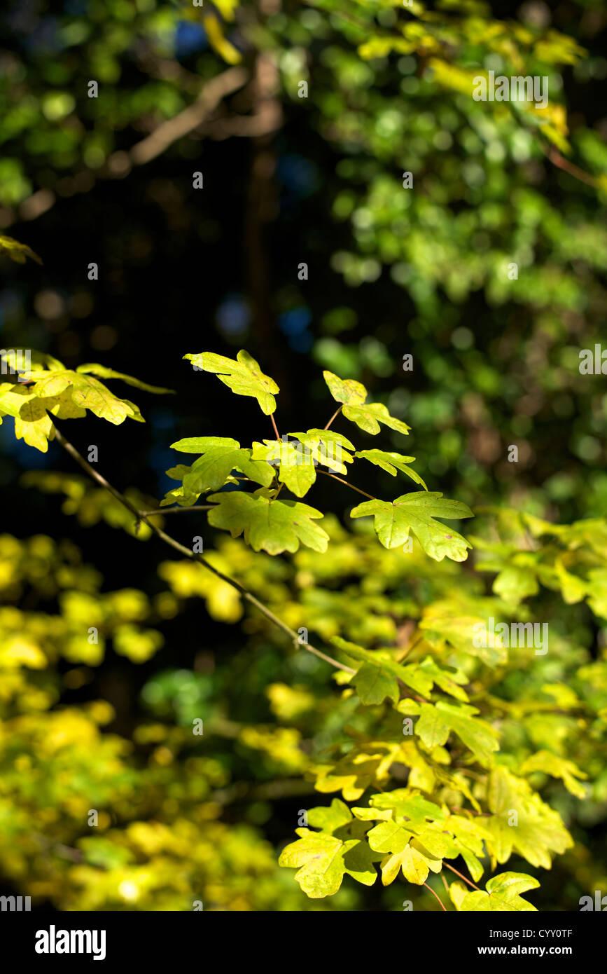 Leaf Whistle Stockfotos & Leaf Whistle Bilder Alamy