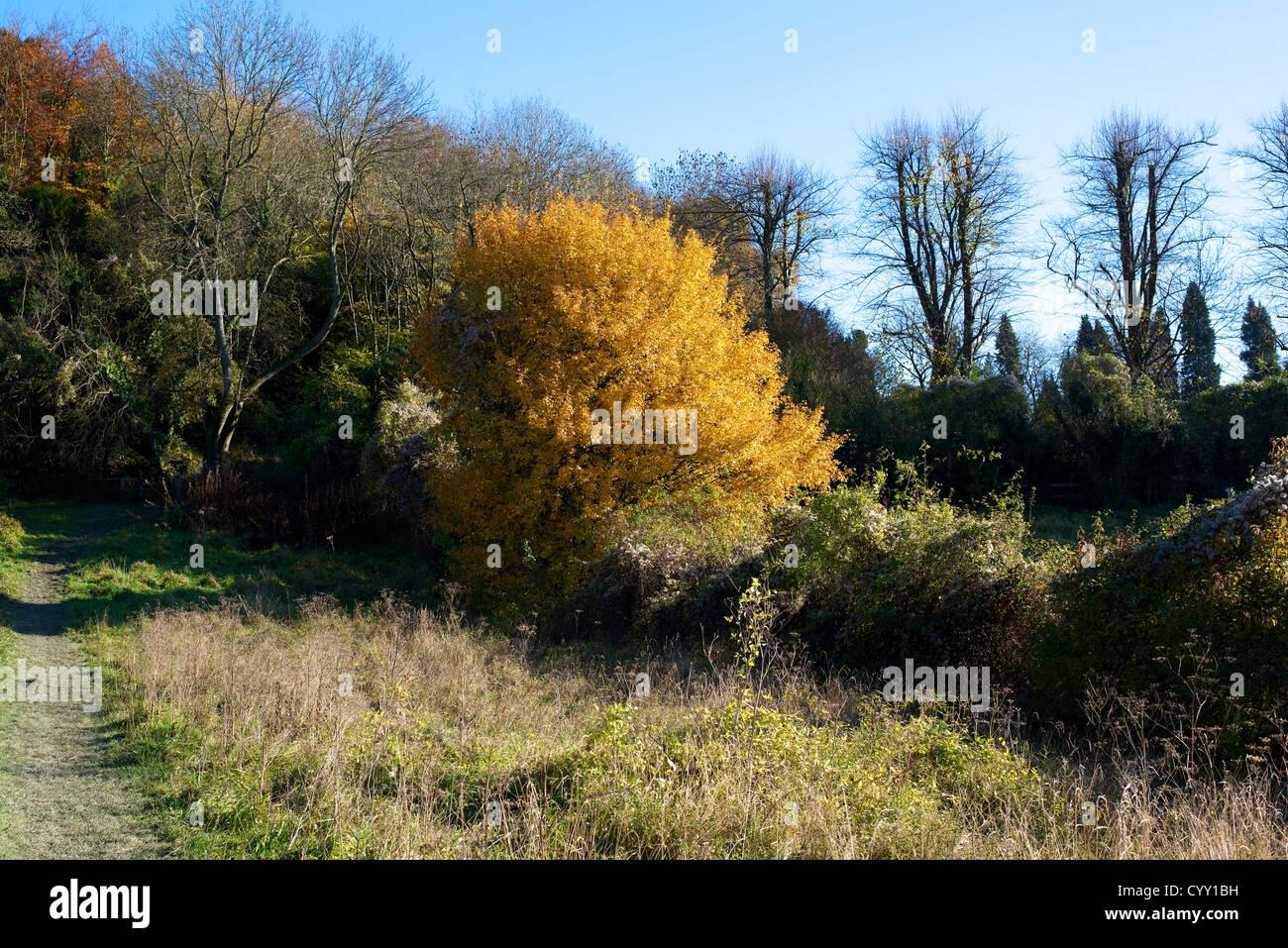"""Goldene Blätter ein Feldahorn """"Acer Campestre"""" Laubbaum Laubbäume"""
