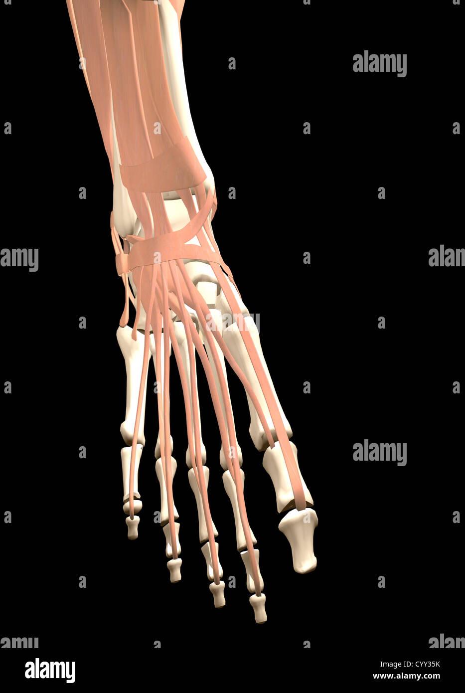 Anatomie des menschlichen Fußes Stockfoto, Bild: 51611663 - Alamy