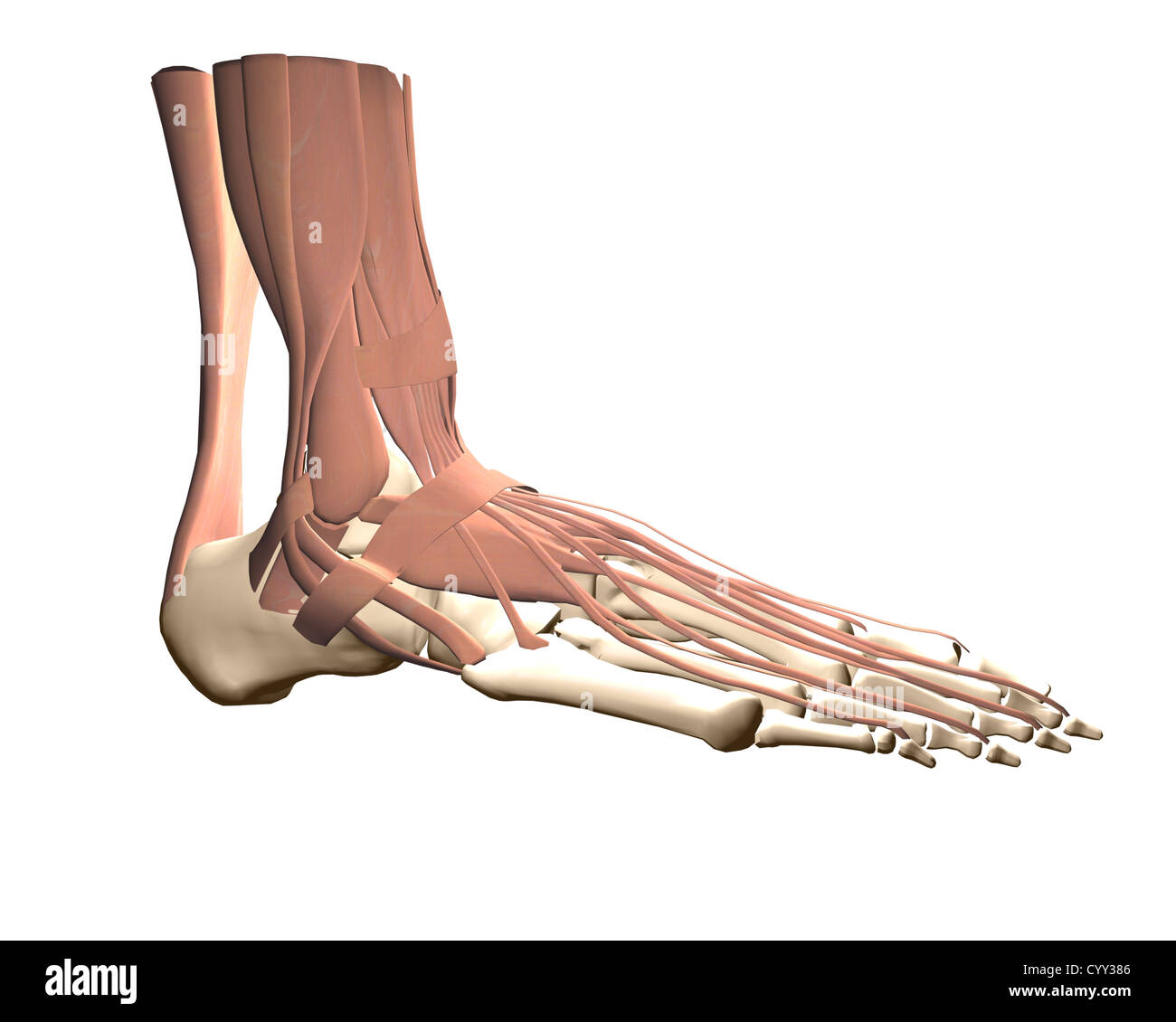 Anatomie des menschlichen Fußes Stockfoto, Bild: 51611734 - Alamy