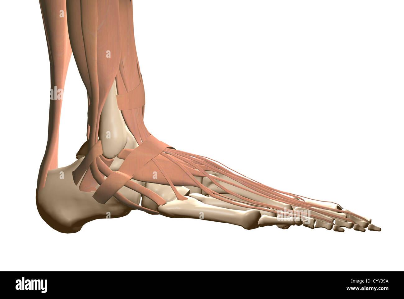 Anatomie des menschlichen Fußes Stockfoto, Bild: 51611766 - Alamy