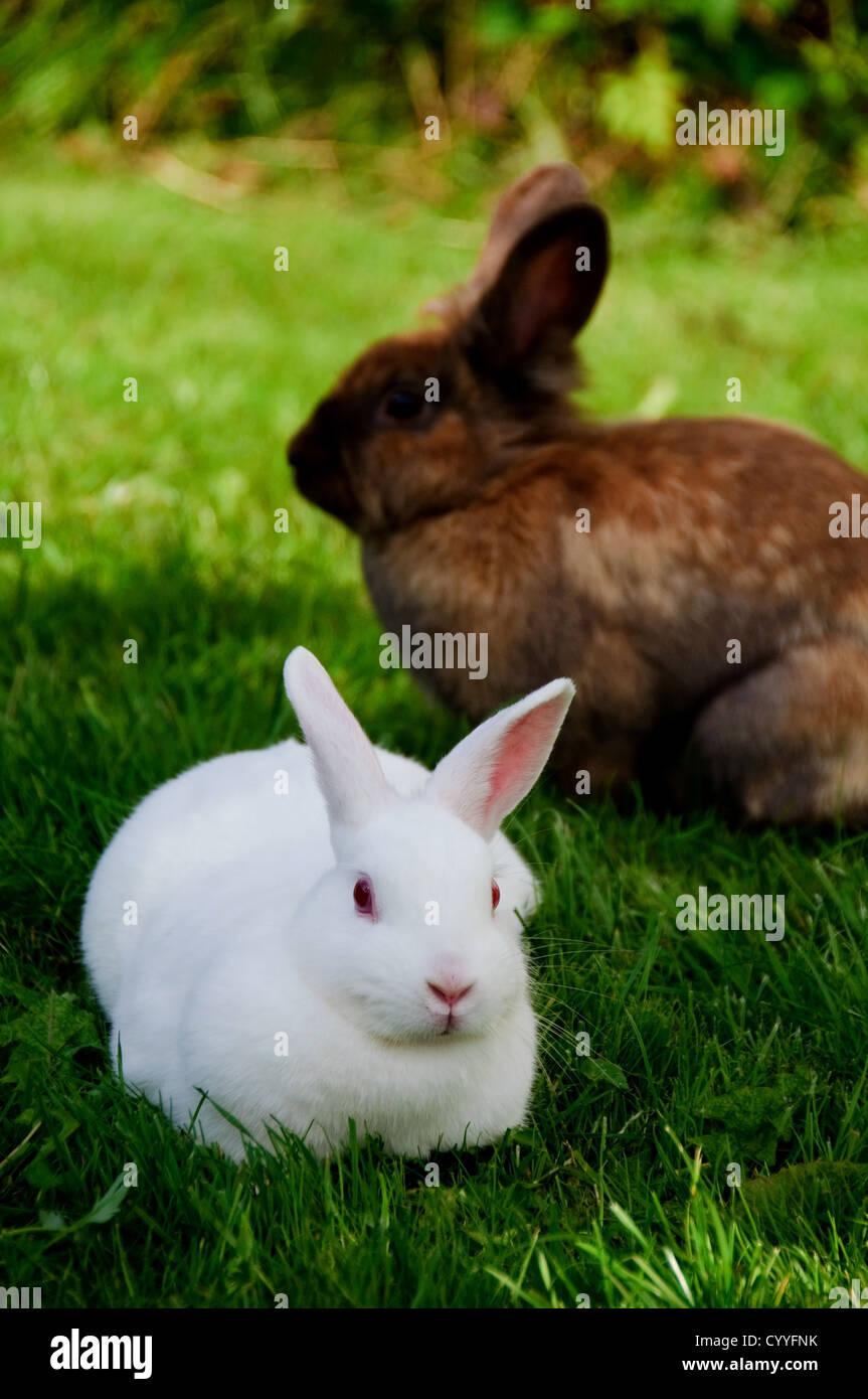 kaninchen braun stockfotos  kaninchen braun bilder  alamy
