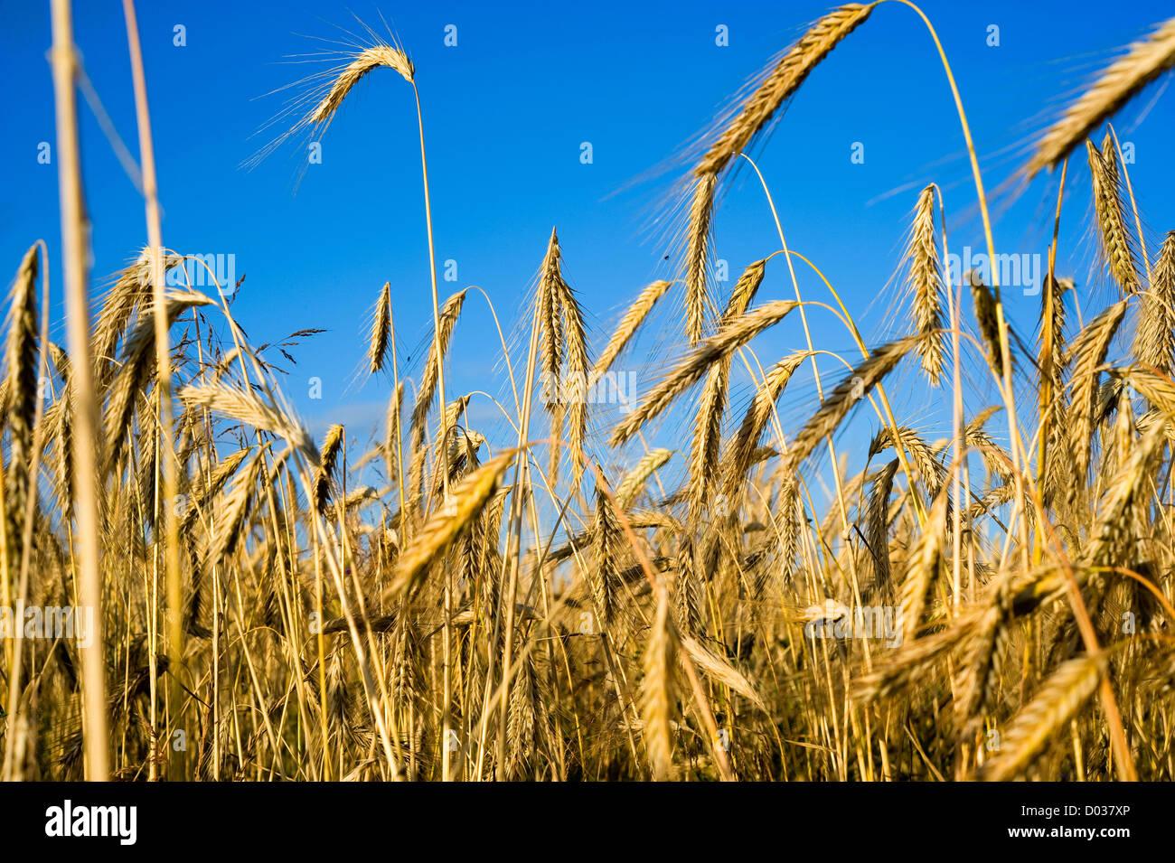 Weizen auf einem Maisfeld Stockbild