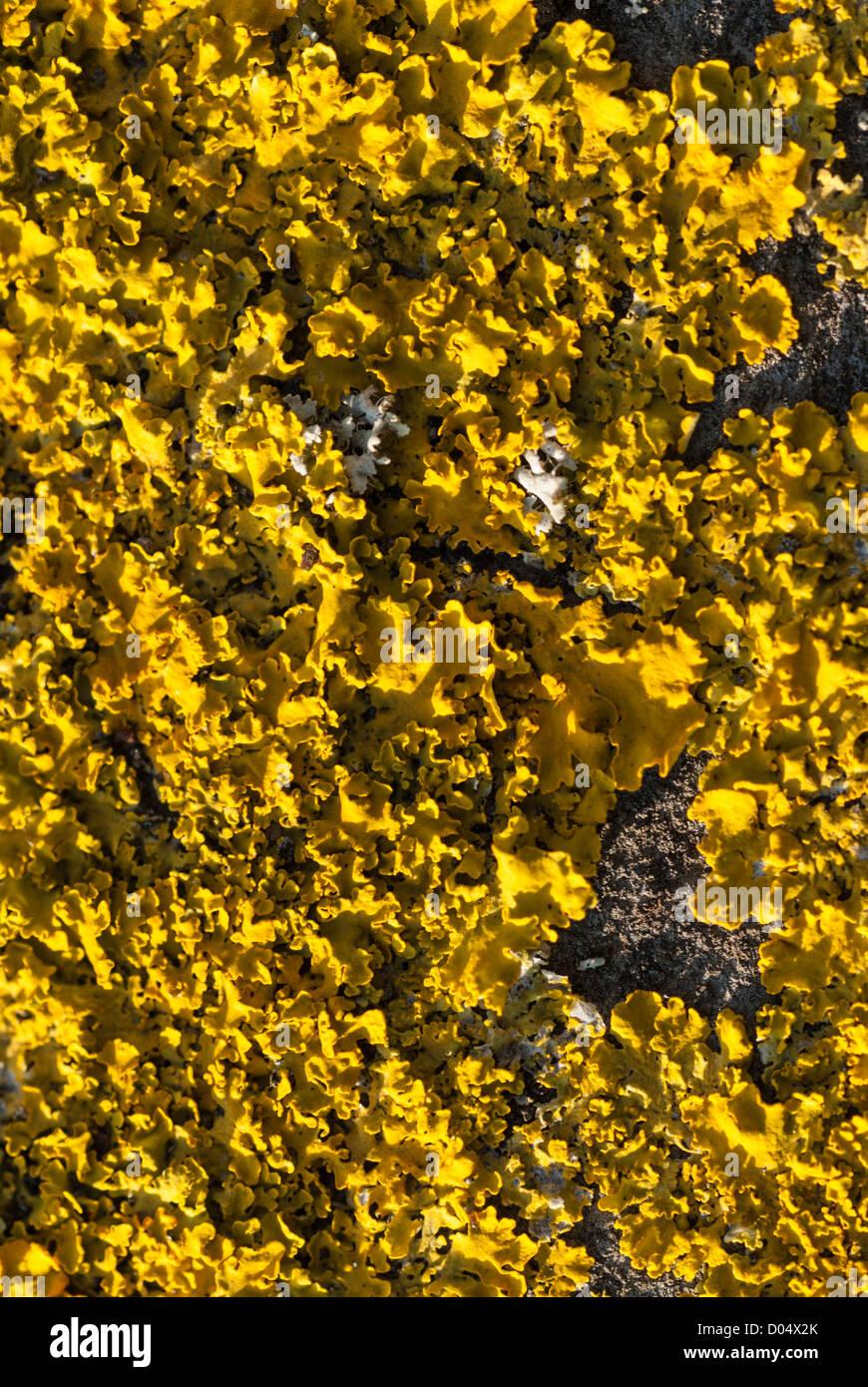Nahaufnahme der Flechten, einschließlich helle gelbe Xanthoria Aureola wachsen auf einer Asphalt-Dach in Cardiff. Stockbild