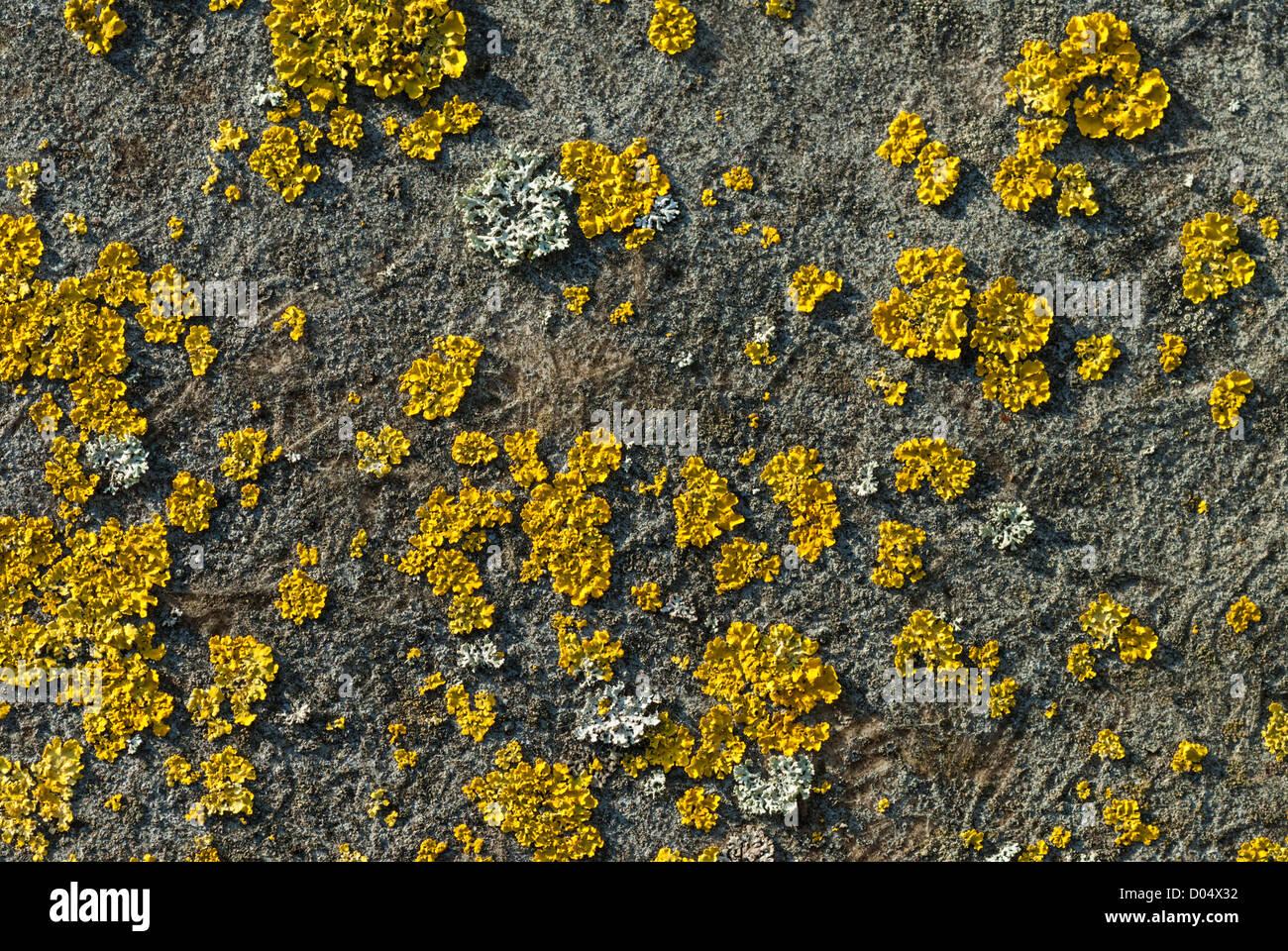 Flechten, einschließlich helle gelbe Xanthoria Aureola wachsen auf einer Asphalt-Dach in Cardiff. Stockbild