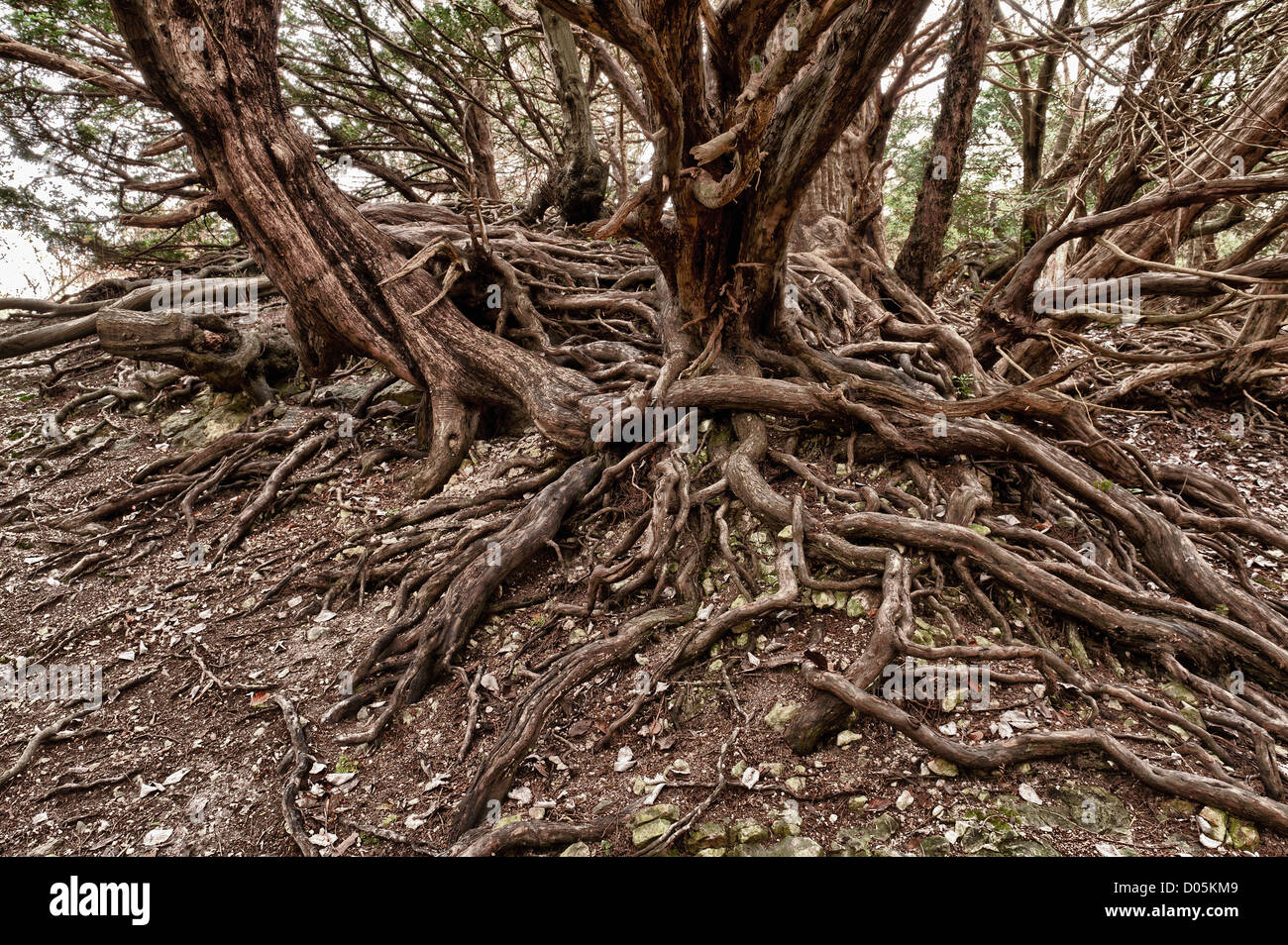 ancient taxus baccata yew tree stockfotos ancient taxus baccata yew tree bilder seite 2 alamy. Black Bedroom Furniture Sets. Home Design Ideas