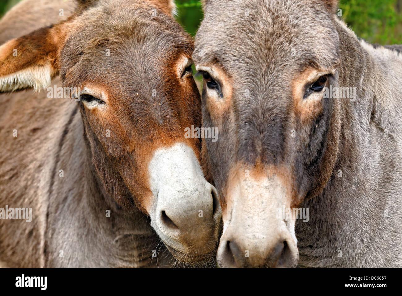 Szene der Zärtlichkeit zwischen zwei Esel Stockbild