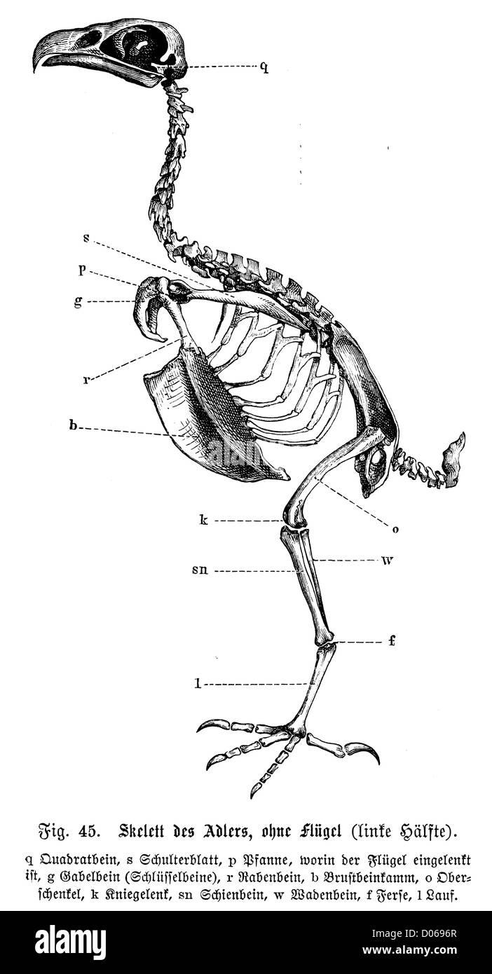 Wunderbar Vogel Anatomie Skelett Bilder - Anatomie Ideen - finotti.info