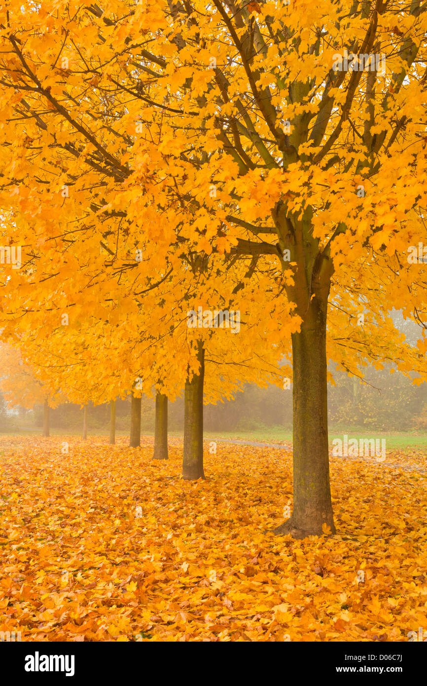 Misty Sycamore Tree Avenue im Herbst, Long Eaton, Nottingham, England, GB, UK, EU Stockbild