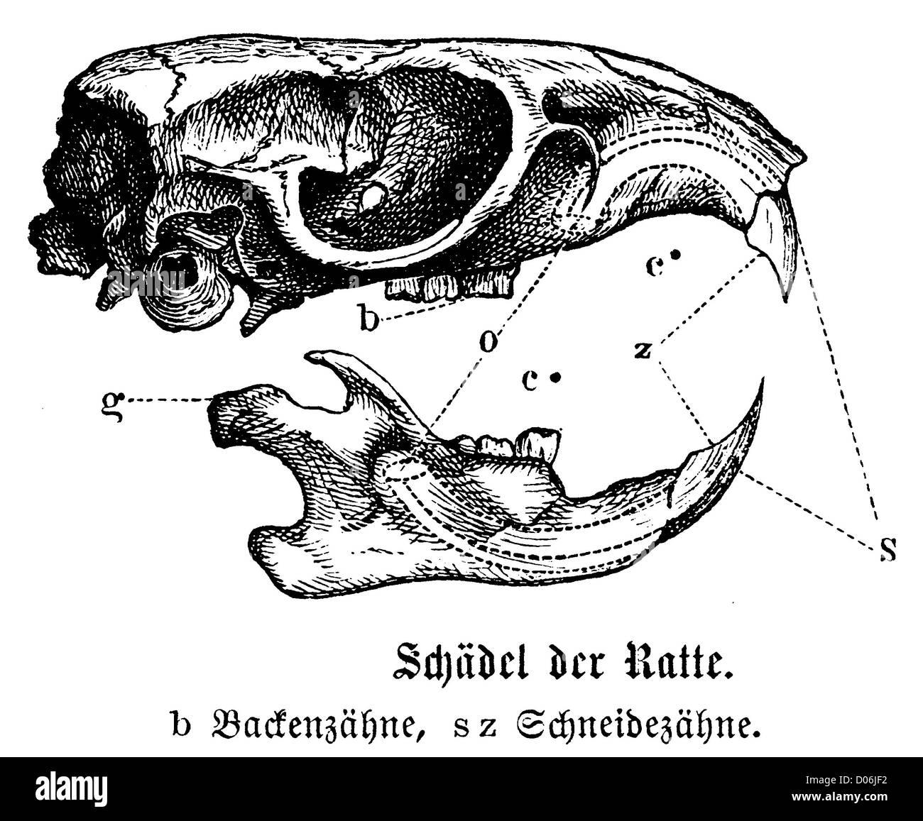 Beste Innere Anatomie Einer Ratte Galerie - Anatomie Ideen - finotti ...
