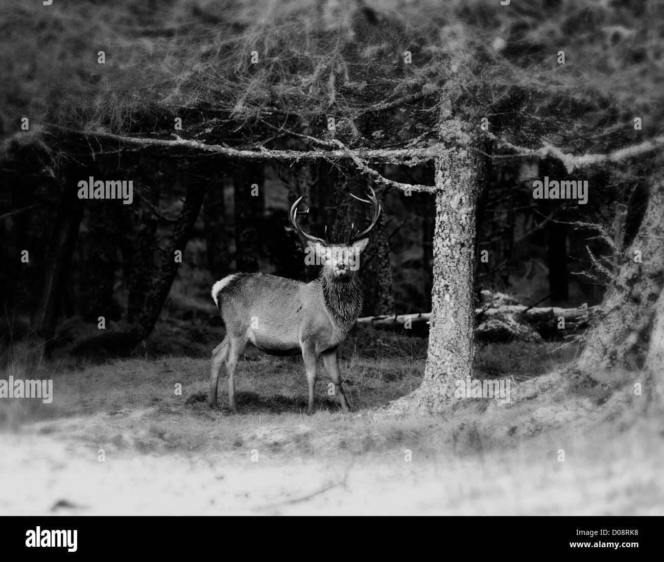 deer antlers black and white stockfotos deer antlers black and white bilder alamy. Black Bedroom Furniture Sets. Home Design Ideas