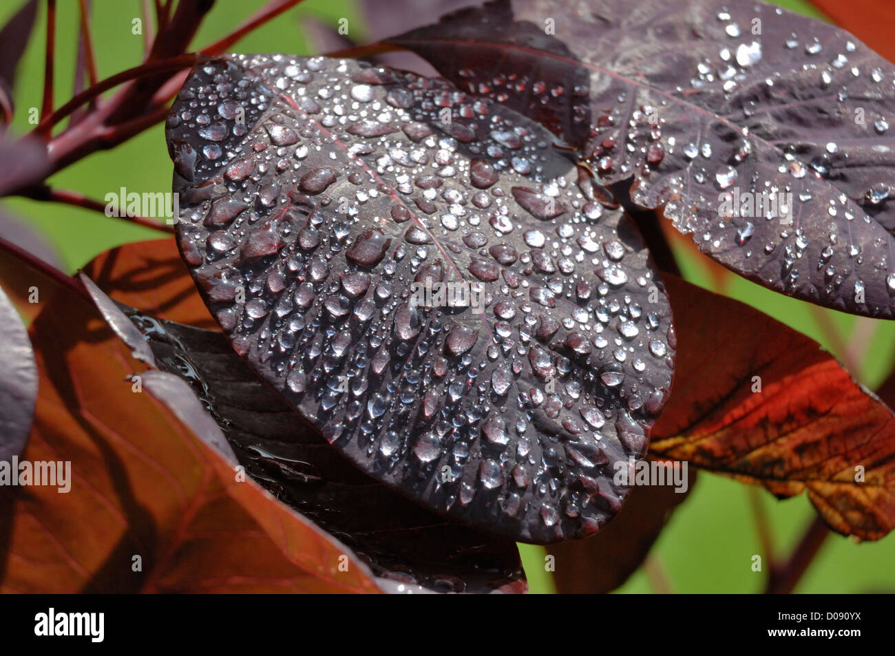 Rauch (Cotinus Coggygria) Blätter mit Regentropfen Stockbild