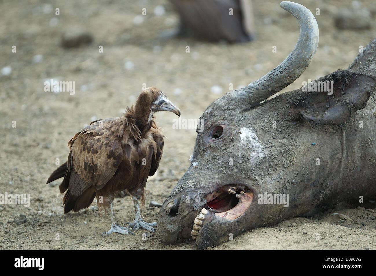 Geier sieht in Augenhöhle der Kaffernbüffel Karkasse Mikumi Wildreservat. Südlichen Tansania. Afrika Stockbild