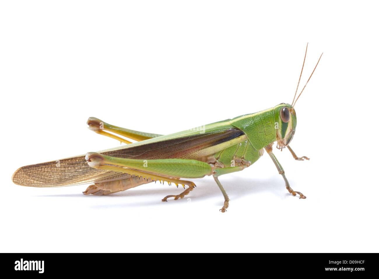 Grasshopper isoliert auf weißem Hintergrund. Stockbild