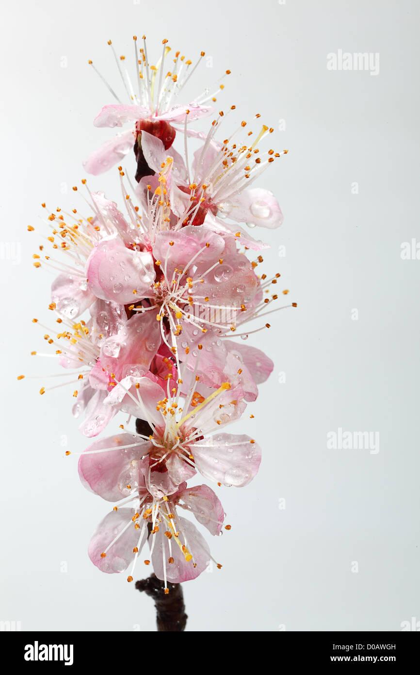 Blumen von einem blühenden Pfirsich Stockfoto