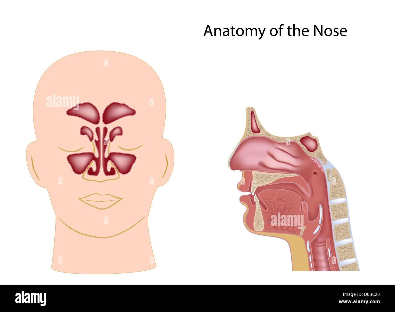 Schön Nase Anatomie Ideen - Menschliche Anatomie Bilder ...