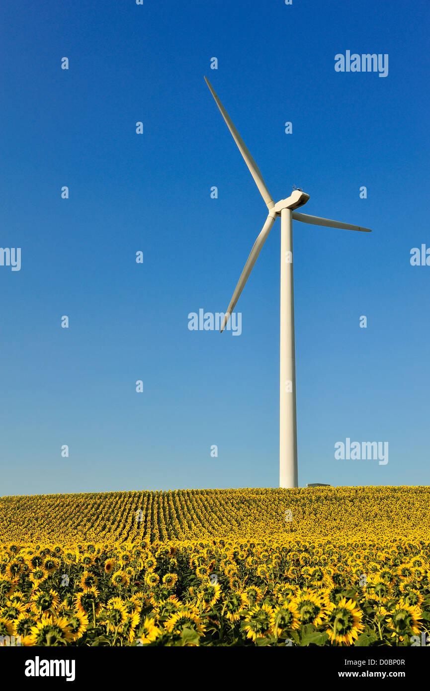 Windkraftanlage in einem Feld von Sonnenblumen, Toulouse, Frankreich Stockbild