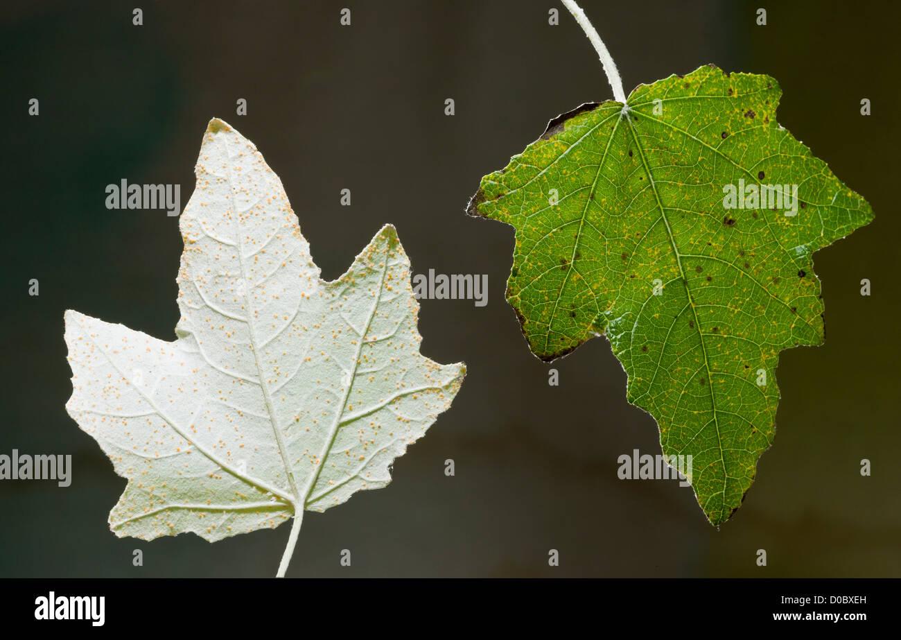 Silberpappel (Populus Alba) Blätter, Unterseite und obere Seite, close-up Stockfoto