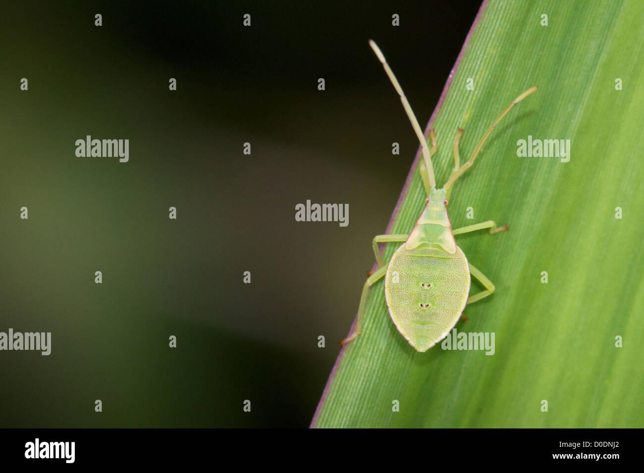 Grashuepfer Nymphe. Die Familie Tettigoniidae, im amerikanischen Englisch als Katydids und im britischen Englisch Stockbild