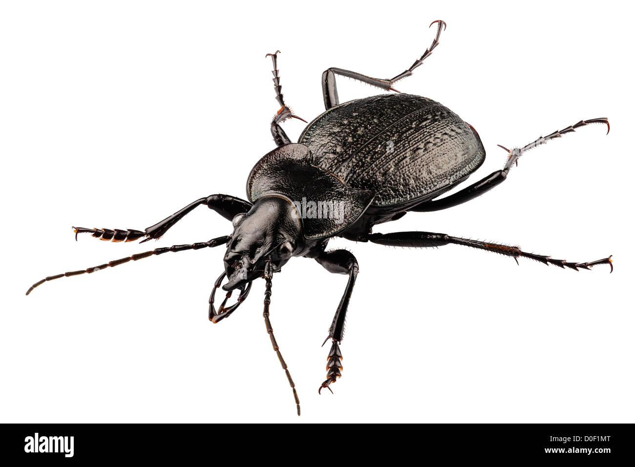 Käfer Arten Carabus Coriaceus Stockfoto Bild 51961752 Alamy