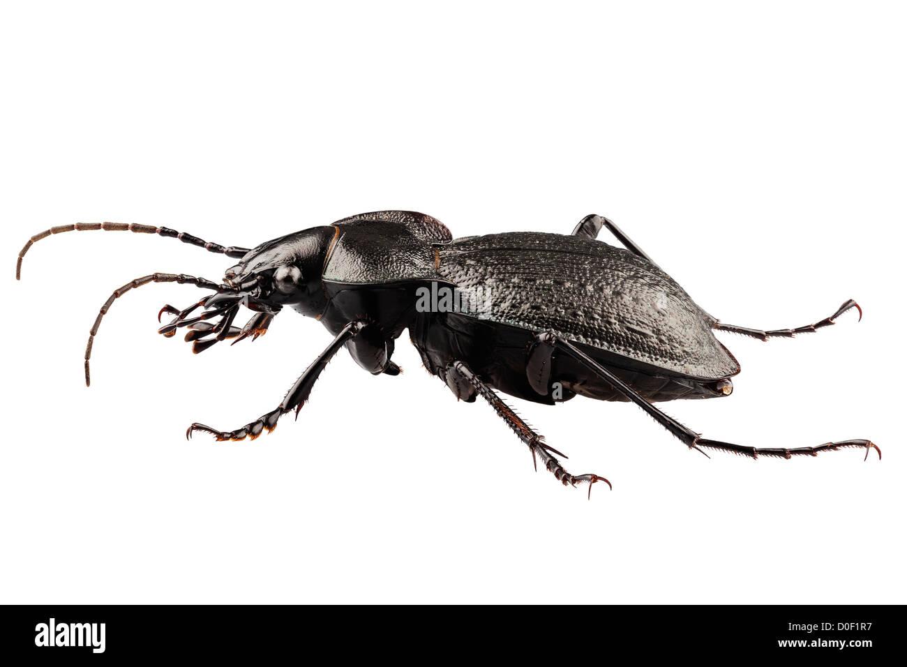 Käfer Arten Carabus Coriaceus Stockfoto Bild 51961819 Alamy