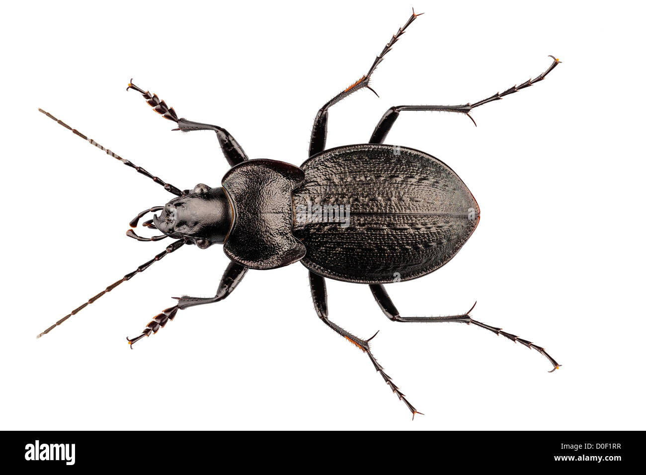 Käfer Arten Carabus Coriaceus Stockfoto Bild 51961835 Alamy