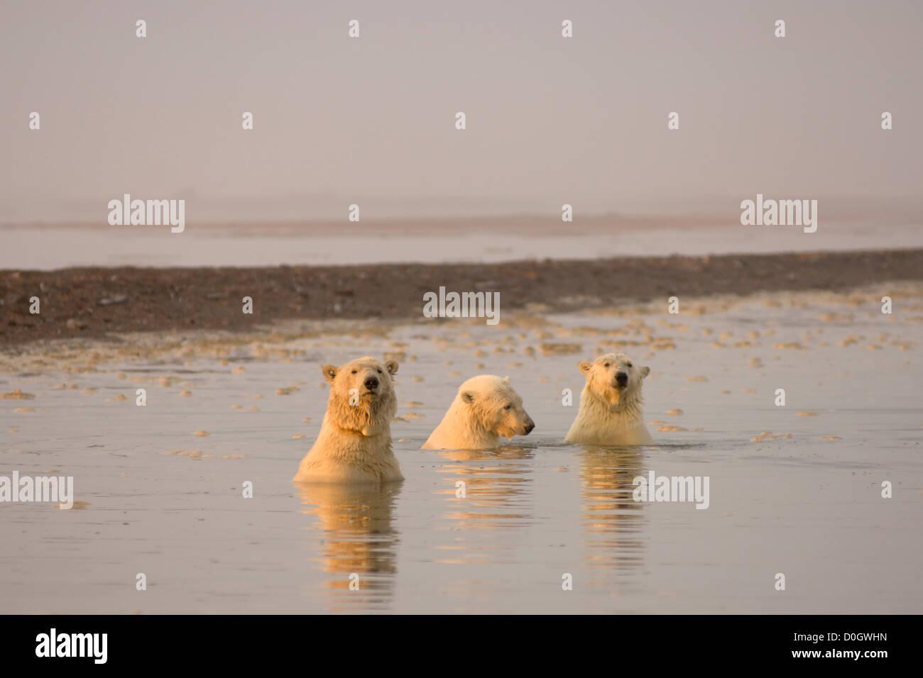 Drei weibliche Eisbären mitspielen der Arctic National Wildlife Refuge Stockfoto