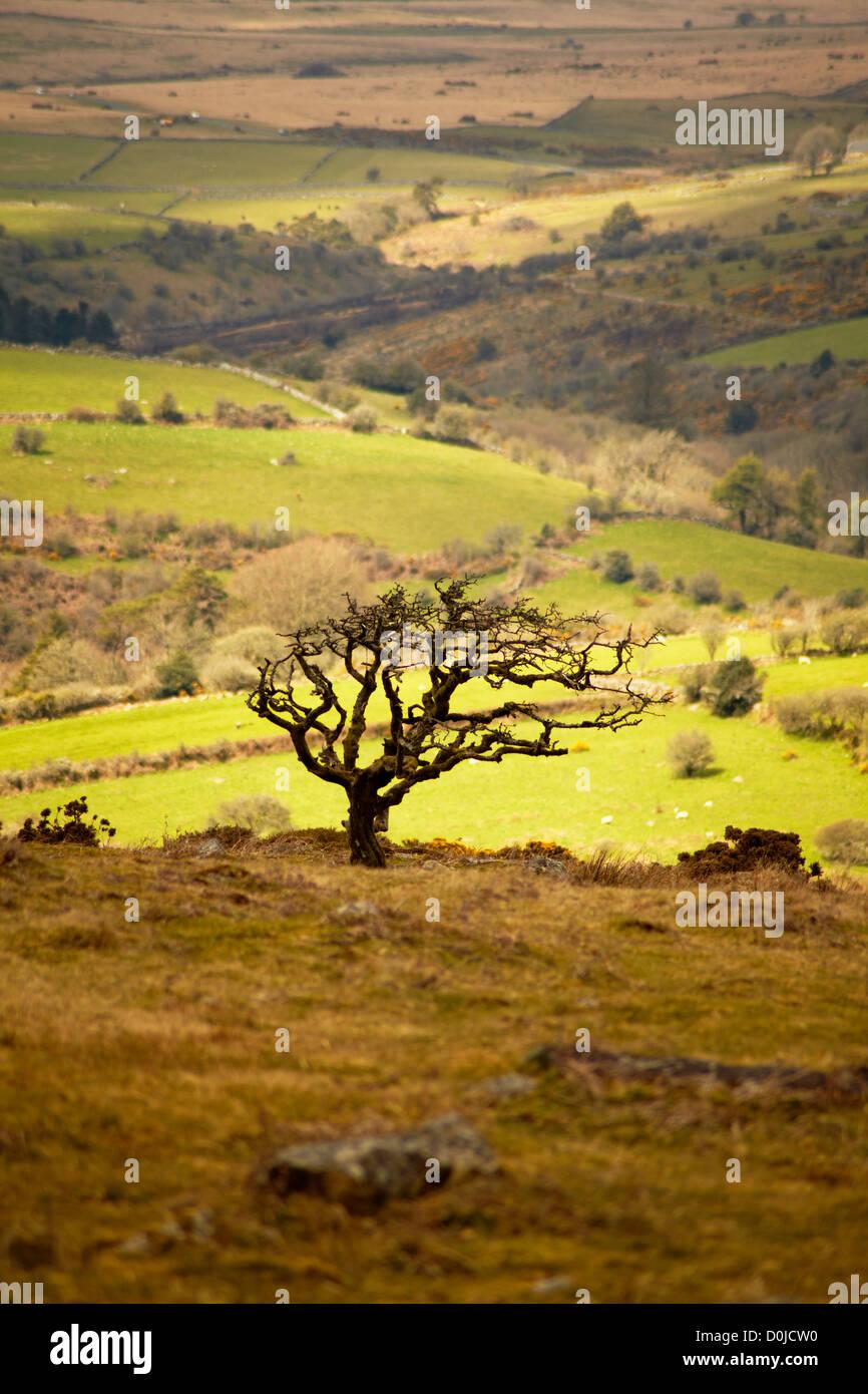 Einsamer Weißdorn Baum Silhouette gegen ein Moor Landschaftskulisse auf Dartmoor. Stockbild