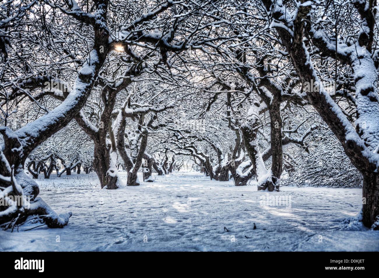 Eine Reihe von Schnee bedeckt Bäume in einem Obstgarten. Stockbild