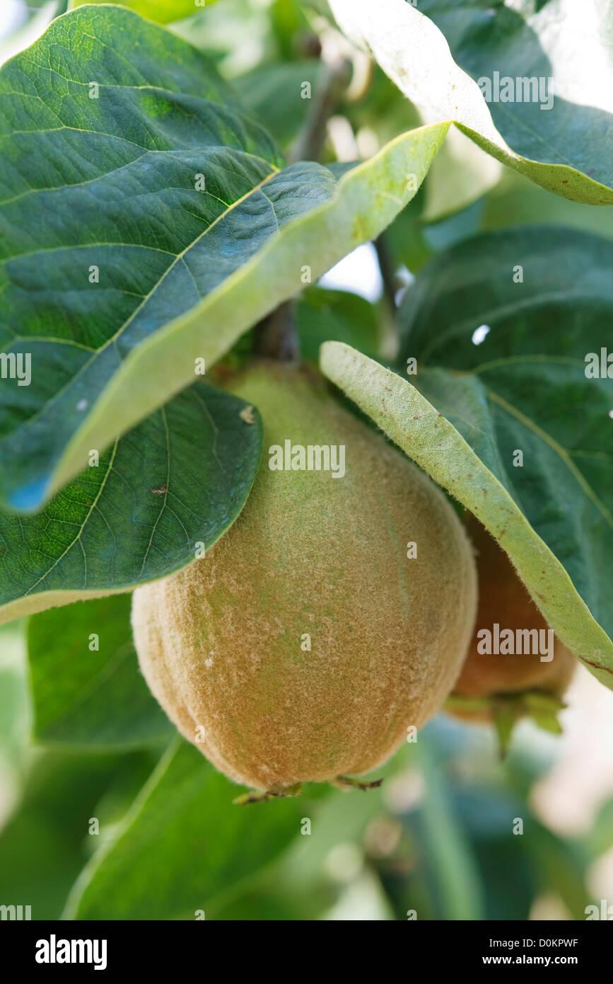 Quitte-Baum Stockbild
