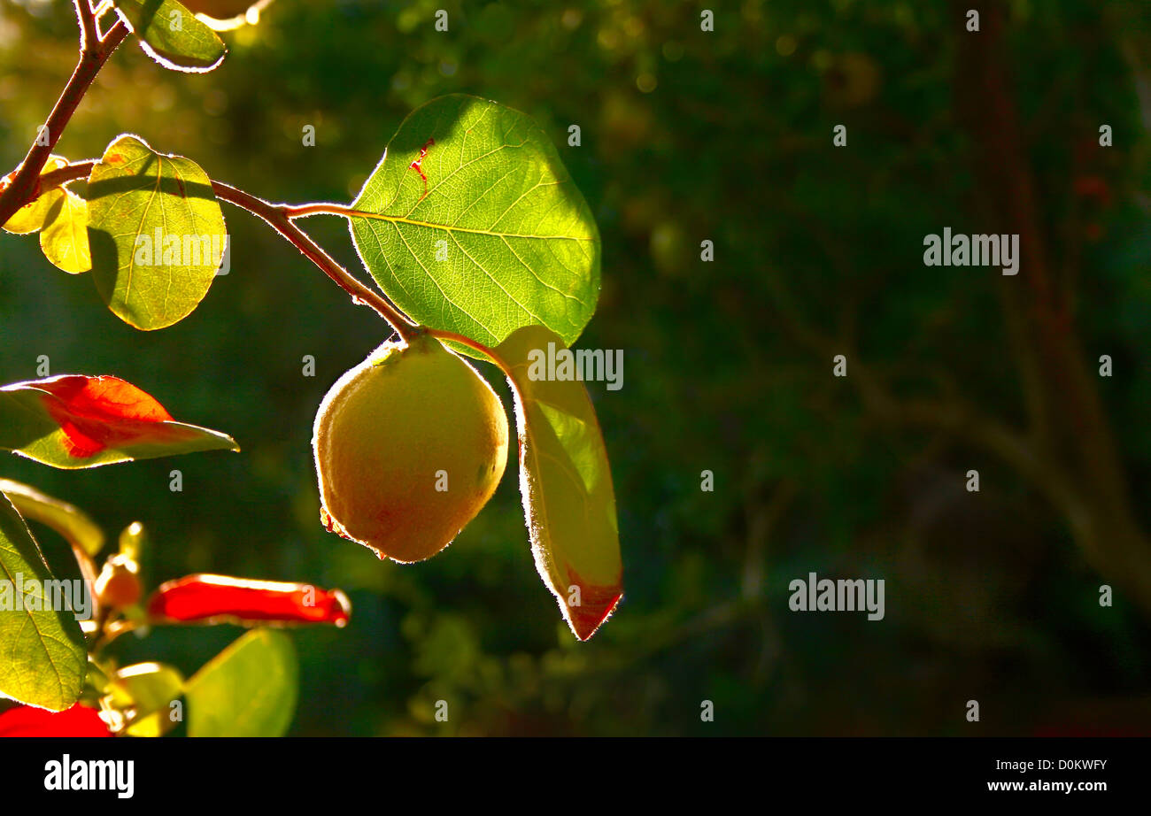 Quitte Baum mit jungen Quitte Frucht Stockbild