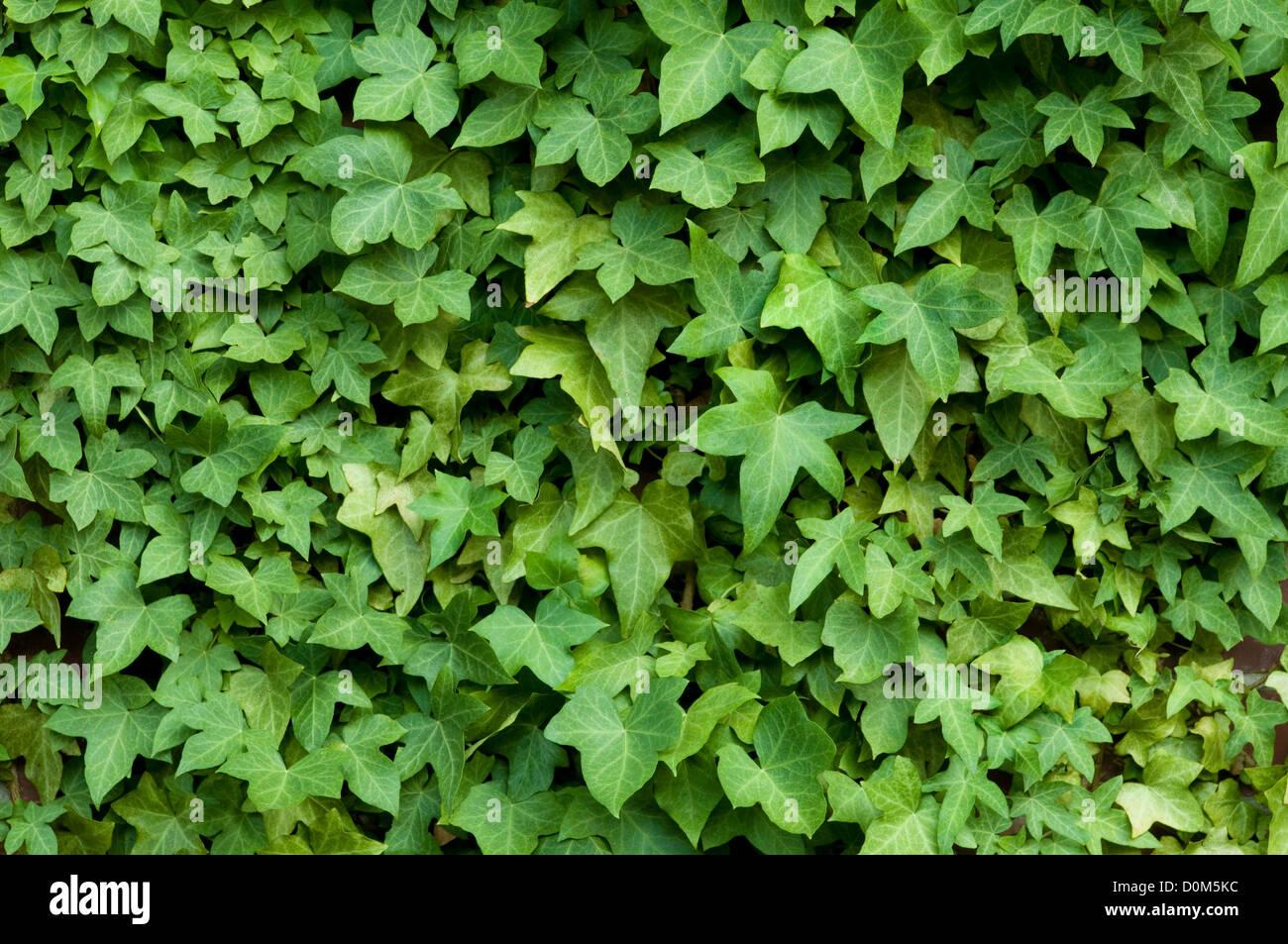Efeu an einer Mauer Stockfoto