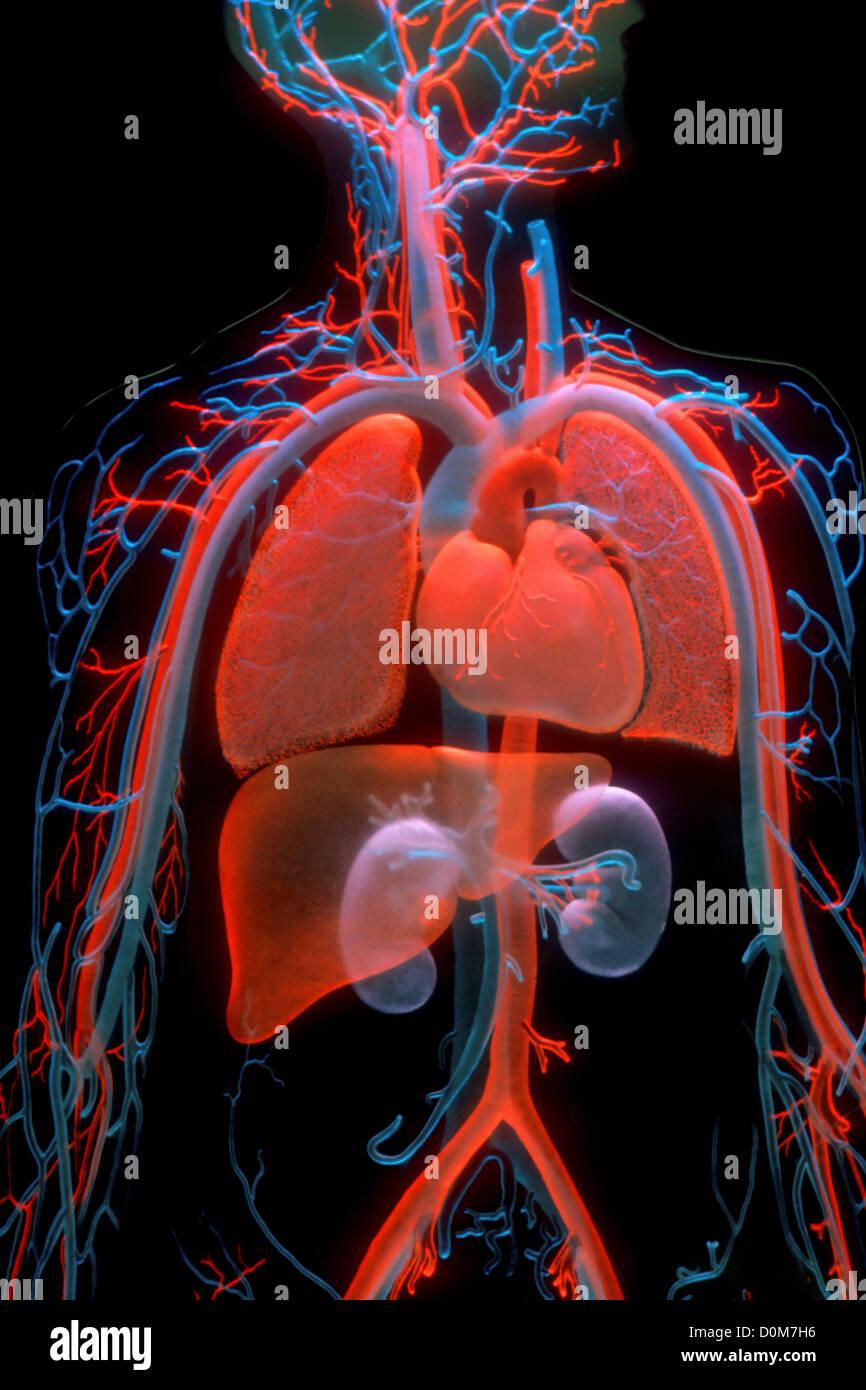 Wunderbar Menschliches Herz Anatomie Und Physiologie Ideen ...