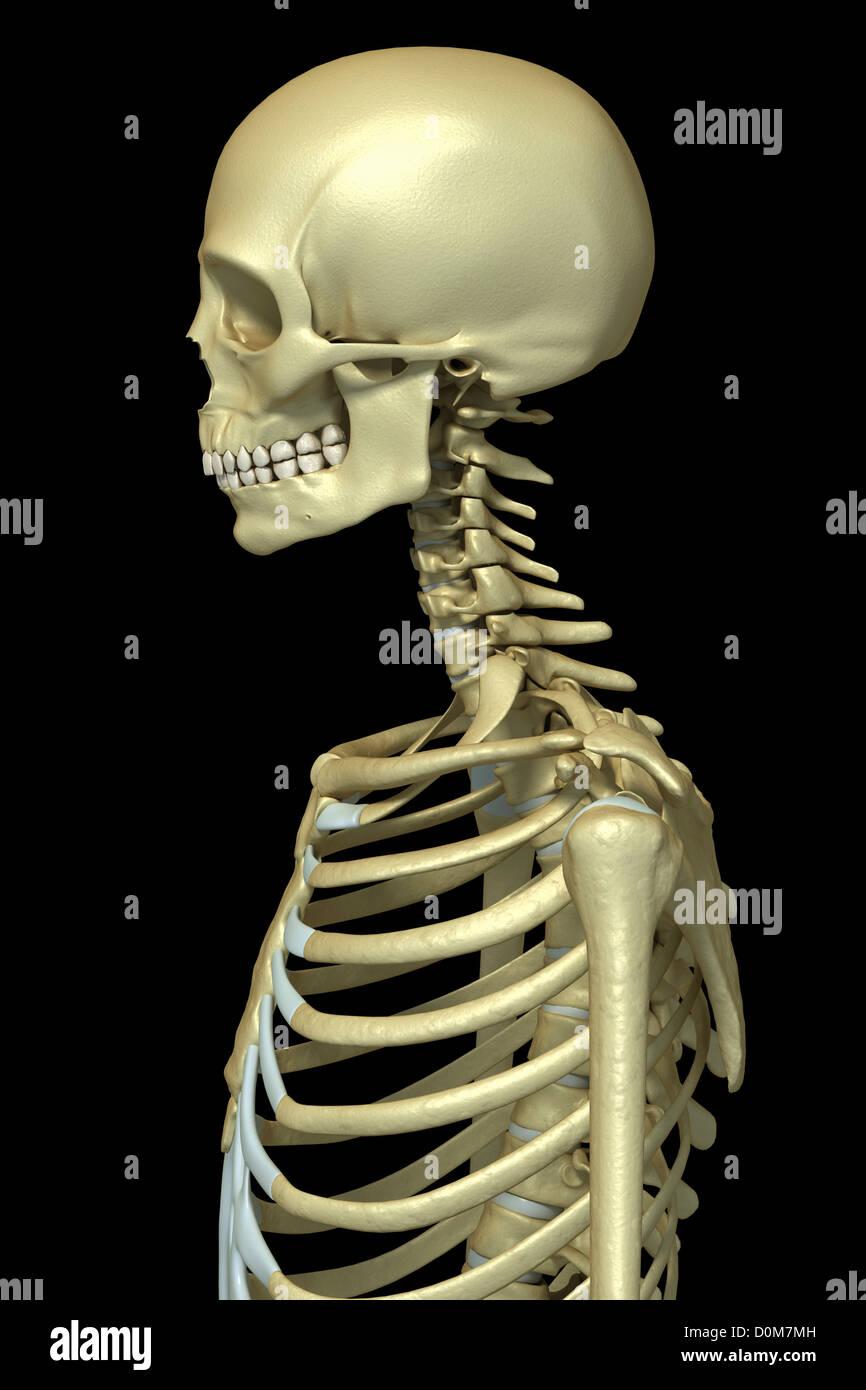 Stilisierte Seitenansicht der Knochen des Kopf-Hals und oberen ...