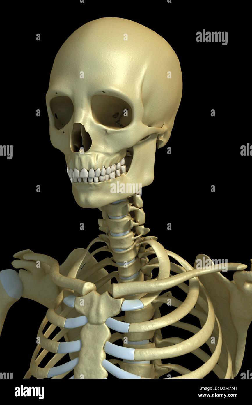 Dreiviertelansicht der Knochen von Kopf, Hals und oberen Torso ...