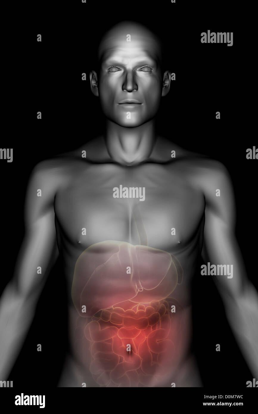 Stilisierte Frontalansicht der männlichen Haut und Magen-Darm-System ...