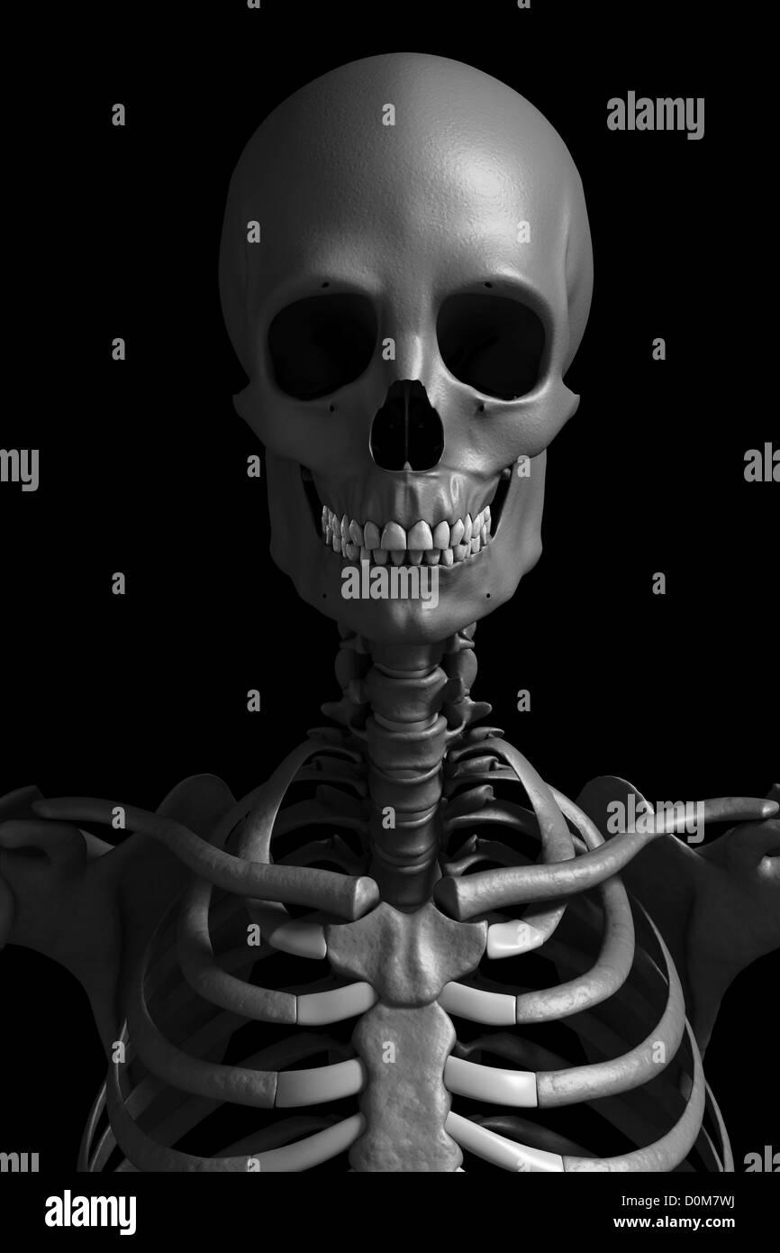 Vorderansicht der Knochen von Kopf, Hals und oberen Torso. Dieses ...