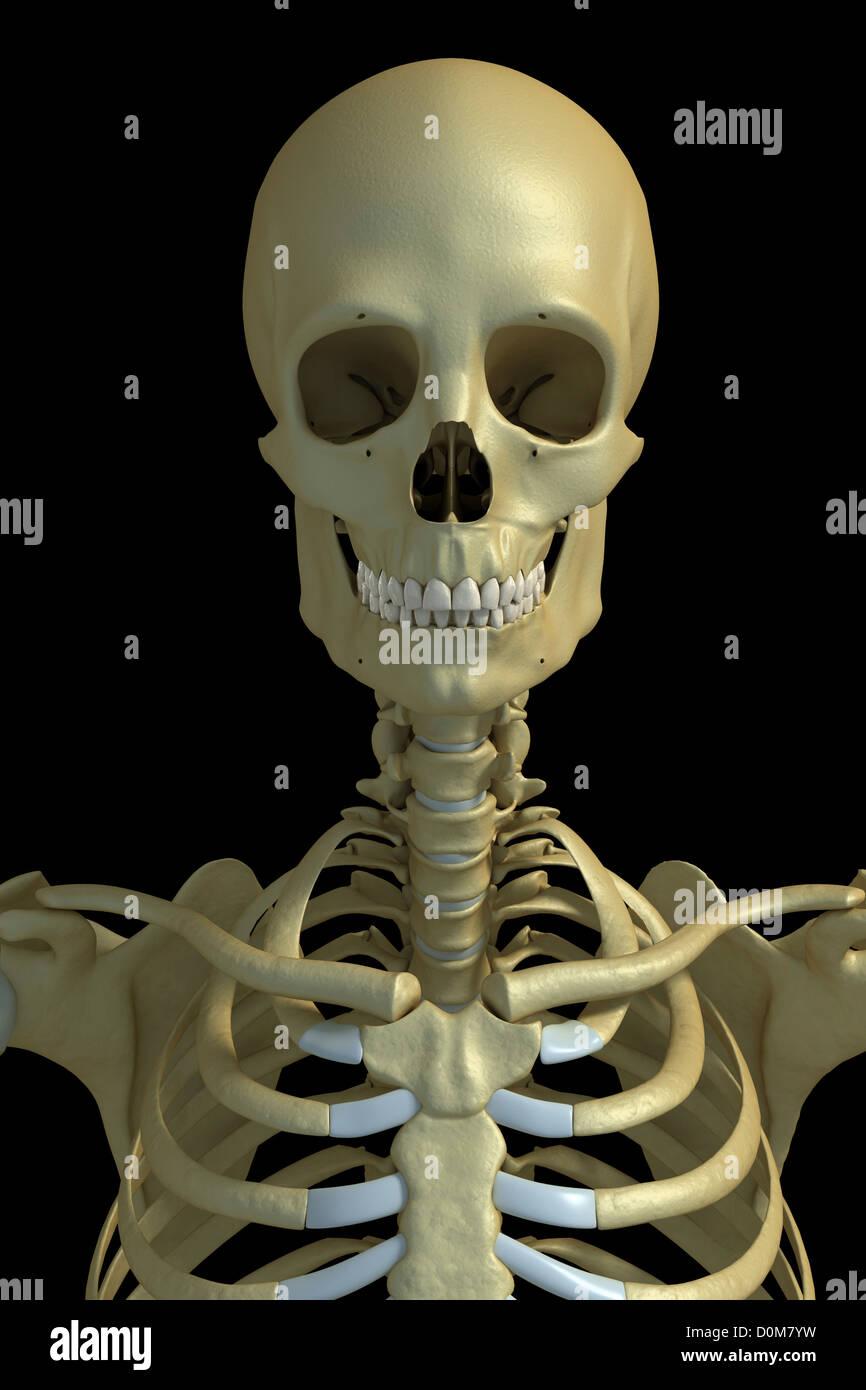 Vorderansicht der Knochen von Kopf, Hals und oberen Torso Stockfoto ...