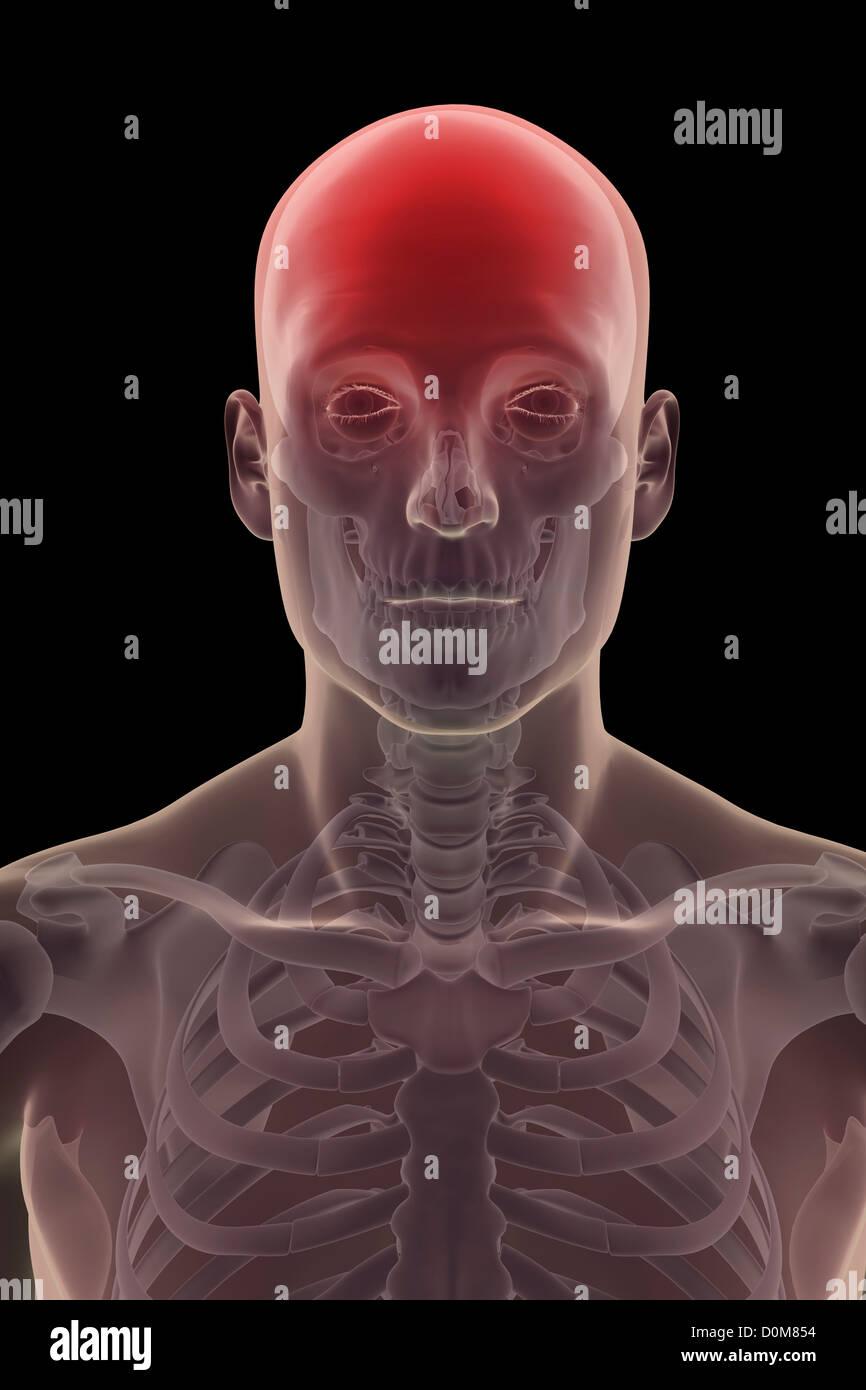 Male Temporal Bone Skull Anatomy Stockfotos & Male Temporal Bone ...