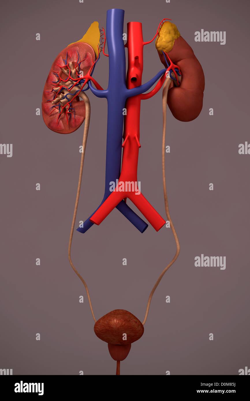 Fantastisch Bild Des Harnsystems Bilder - Menschliche Anatomie ...