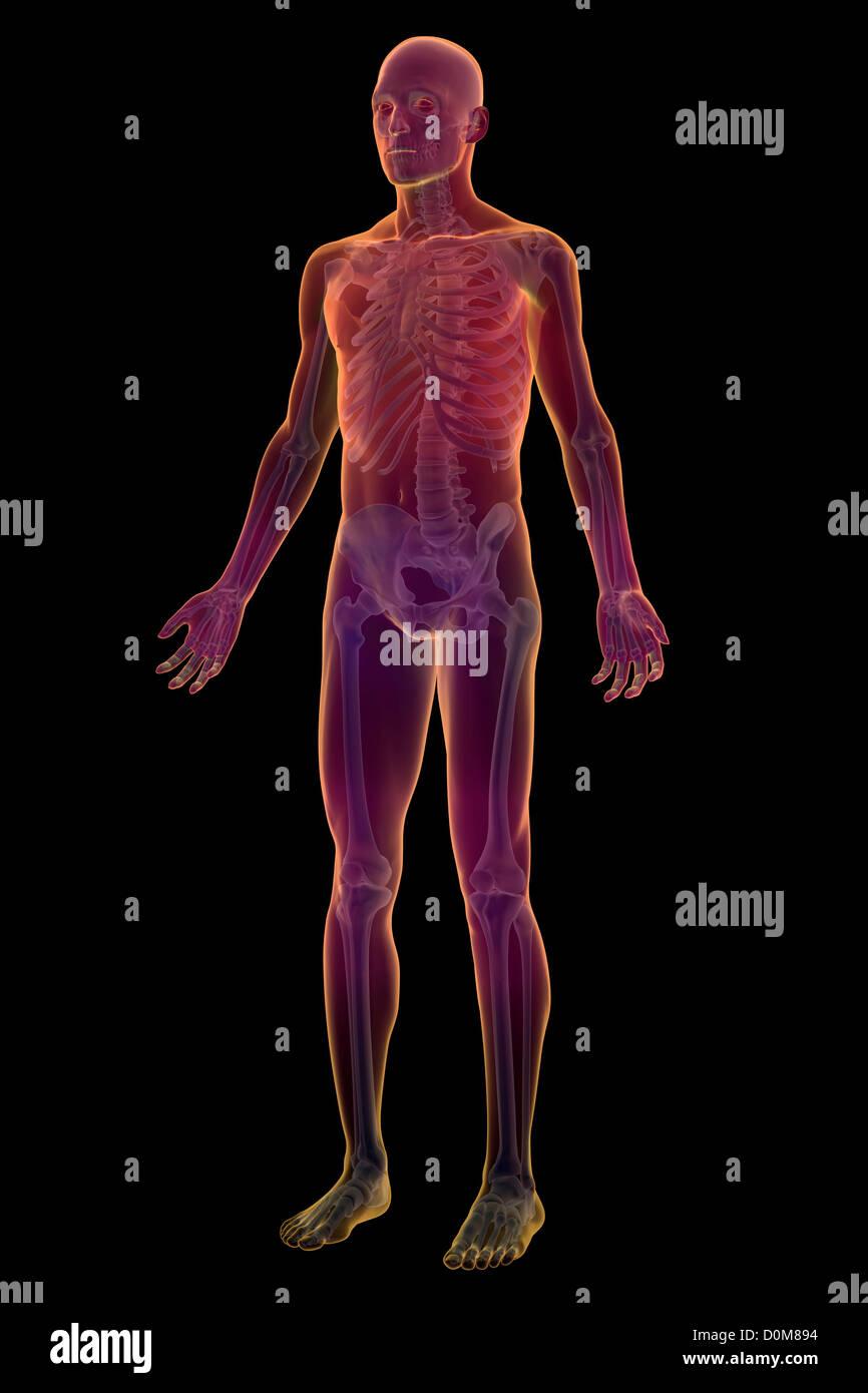 Ganzkörper-Ansicht des männlichen menschlichen Skeletts Stockfoto ...