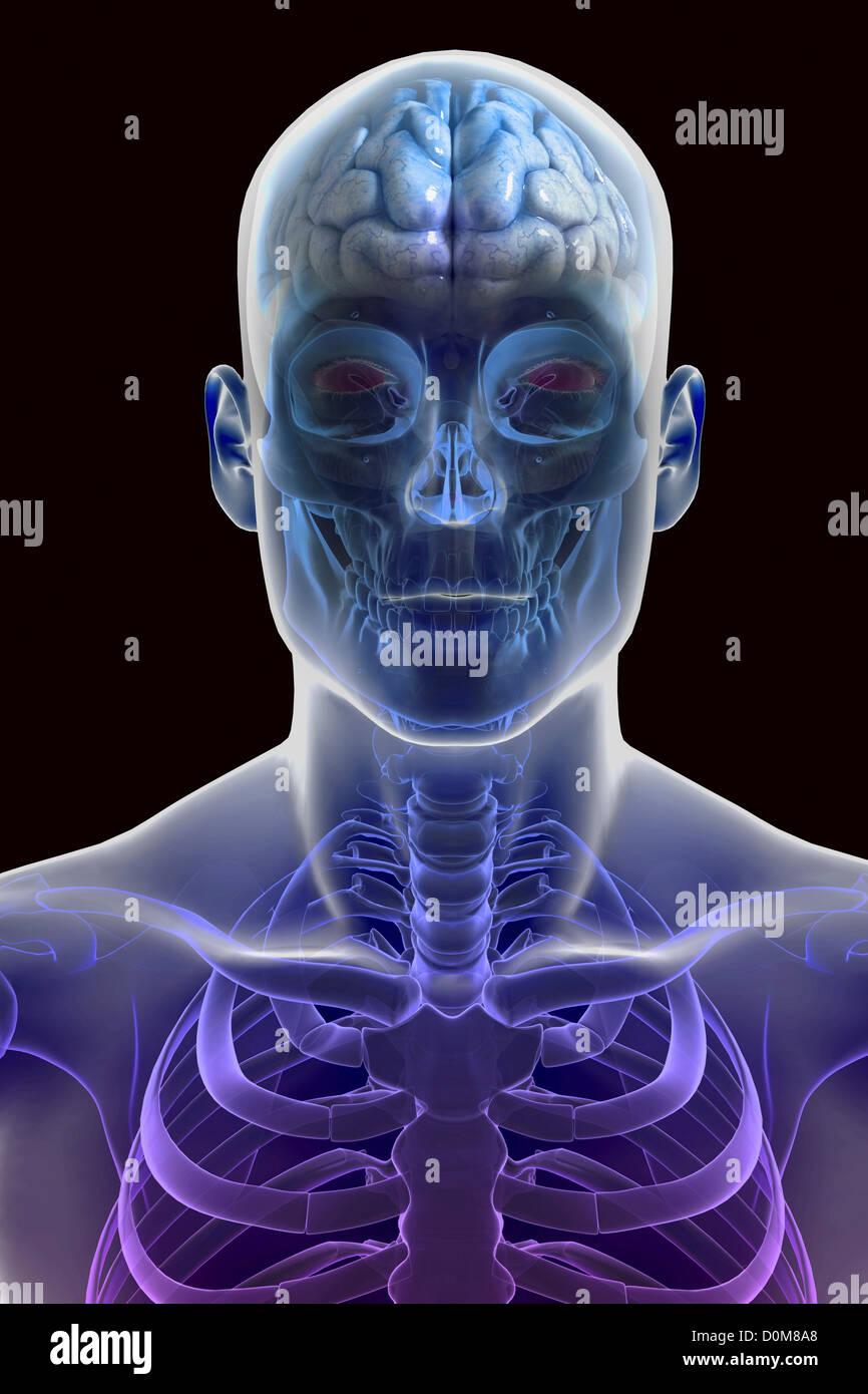 Stilisierte Frontalansicht der Männerhaut mit dem Gehirn innerhalb ...