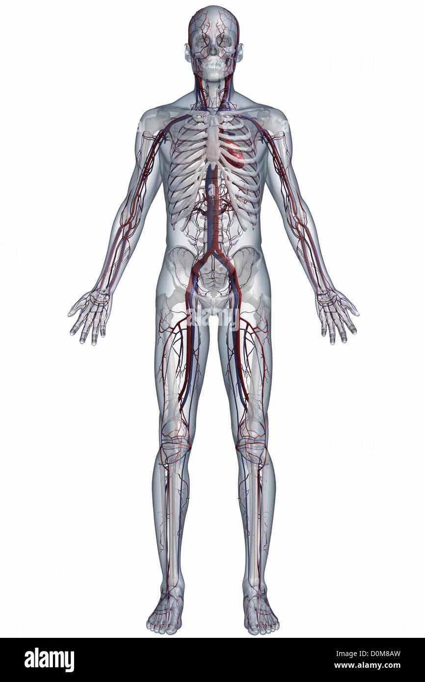 Full Body View Cardiovascular Stockfotos & Full Body View ...