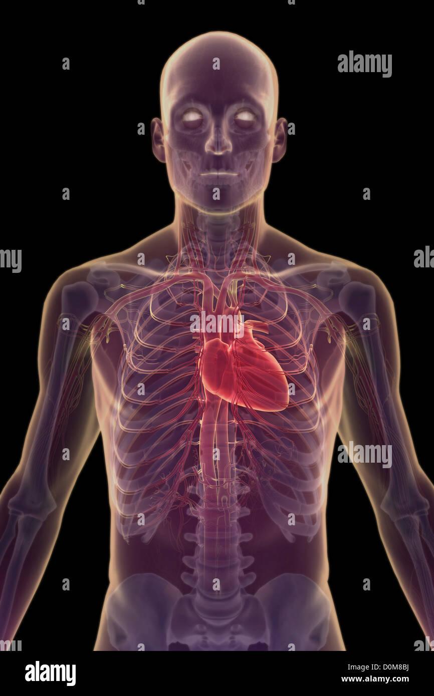 Großzügig Herz Kreislauf System Umfasst Ideen - Menschliche Anatomie ...