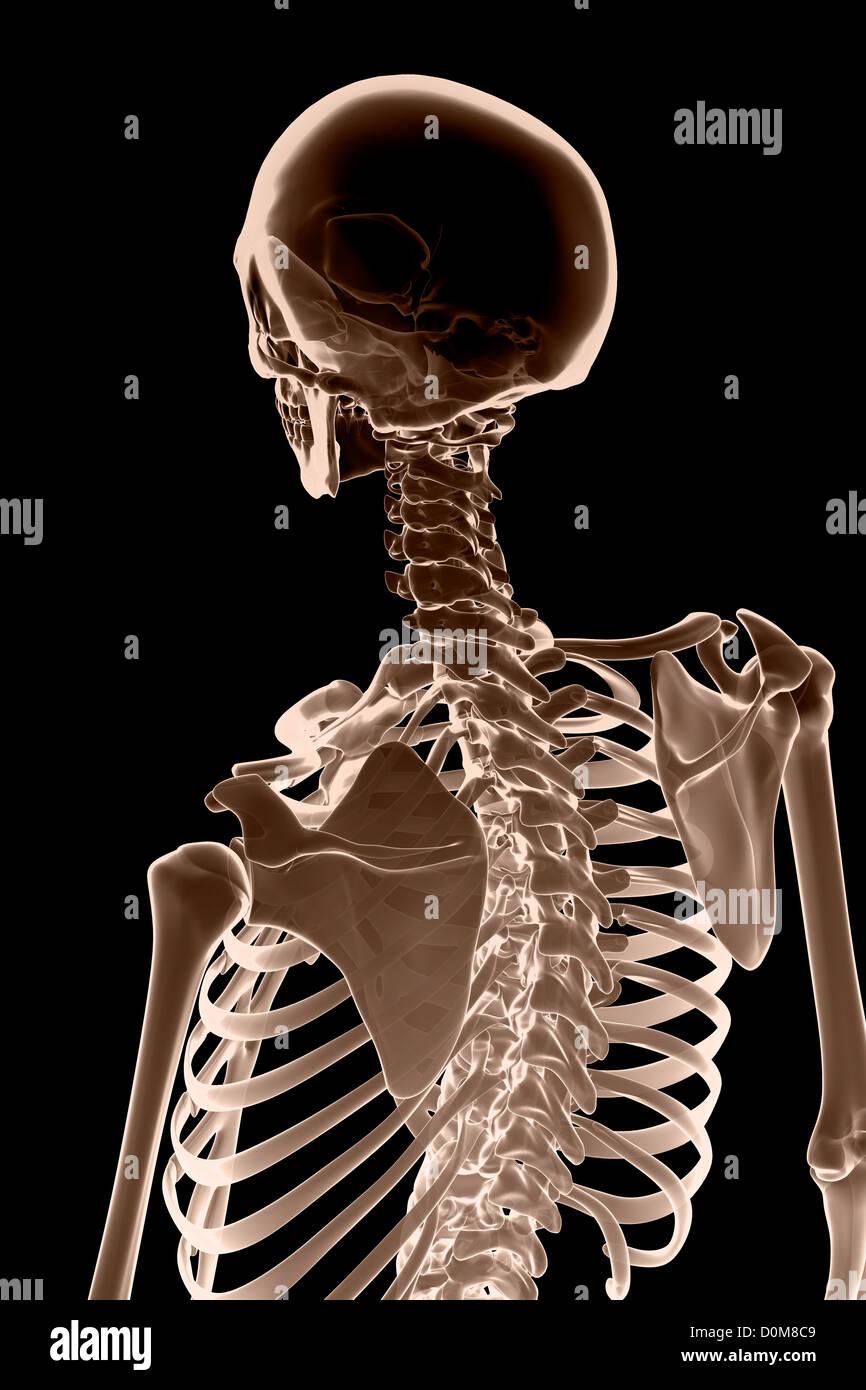 Rear View-Bild der Knochen von Kopf, Hals und oberen Körper ...