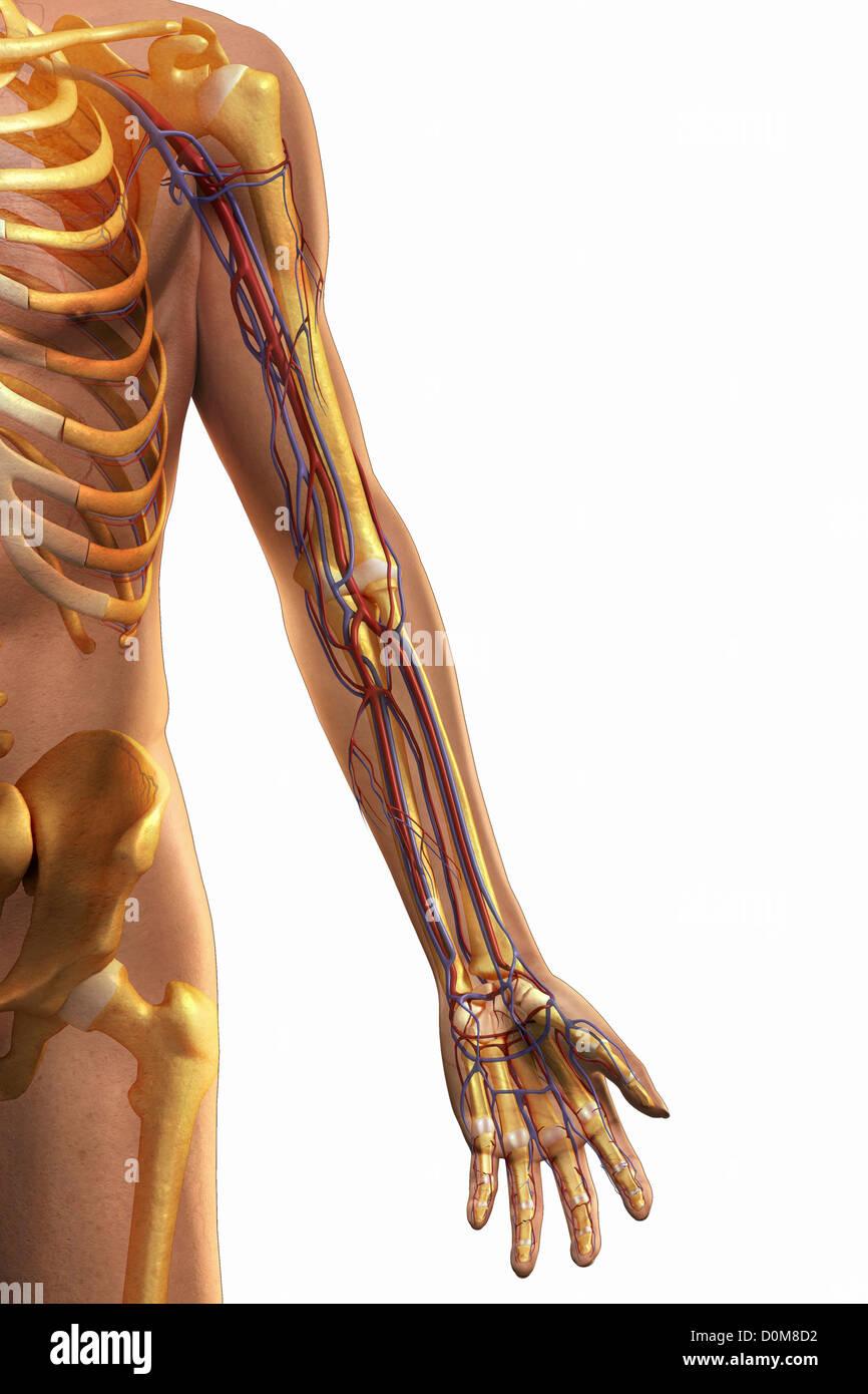 Berühmt Blutgefäße Anatomie Und Physiologie Fotos - Anatomie Ideen ...