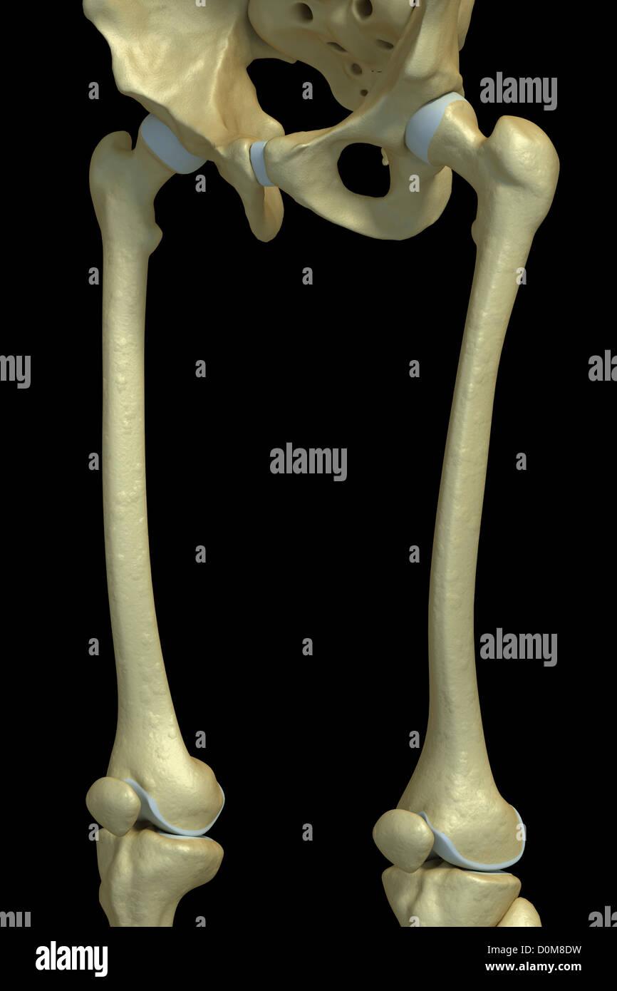 Berühmt Knochen Des Menschlichen Beines Zeitgenössisch - Menschliche ...