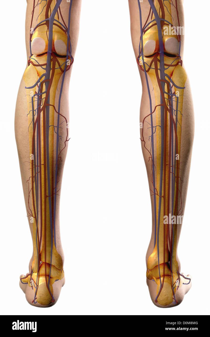Rückansicht der Blutgefäße der Beine Stockfoto, Bild: 52076992 - Alamy