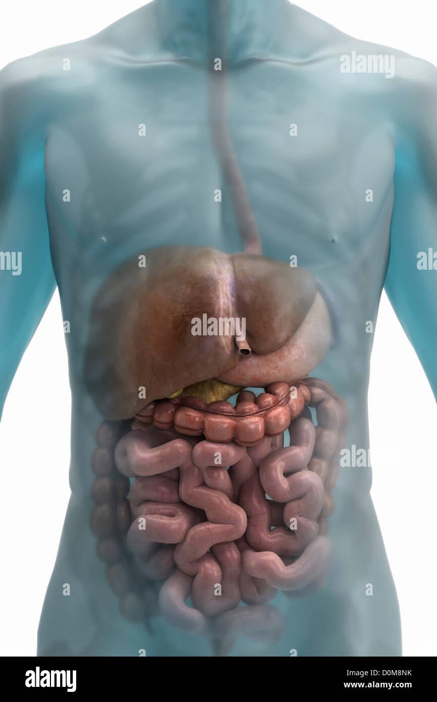 Atemberaubend Verdauungssystem Des Menschlichen Körpers Ideen ...