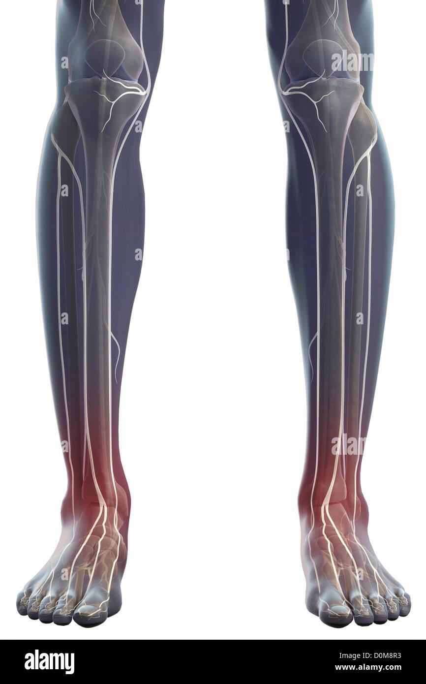 Vorderansicht der Nerven und Knochen von den Unterschenkeln ...